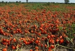 thumbs_tomato-field